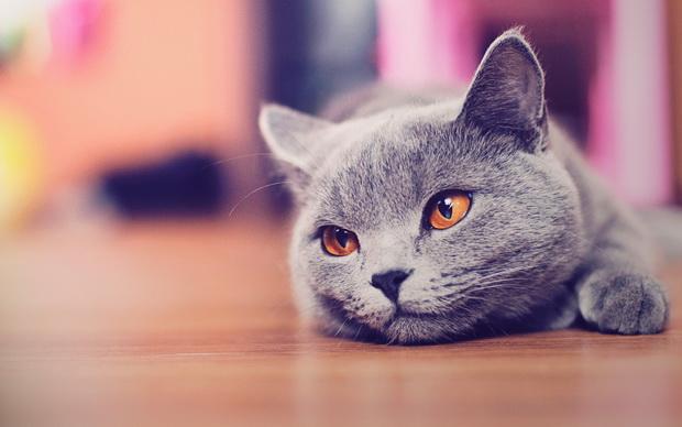 Британские кот кастрирован чем кормить