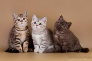 британского котенка окрасу фото