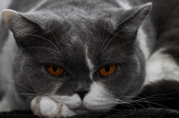 http://brit-cats.ru/wp-content/uploads/2011/10/Pitanie-kastrirovanny-h-britanskih-kotov.jpg