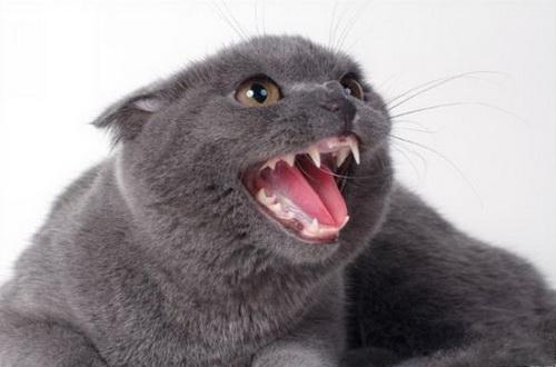 Зубы британских котов