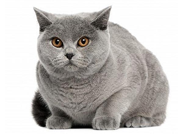 Болезни прямой кишки у кошки