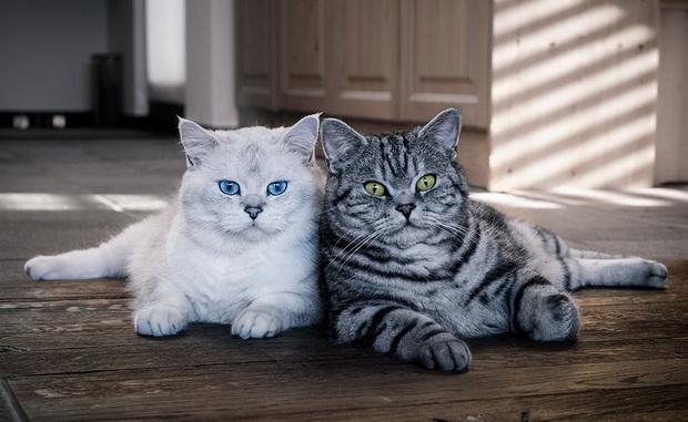 http://brit-cats.ru/wp-content/uploads/2011/12/7-Dve-koshki-porody-britanskaya-korotkosherstnaya.jpg