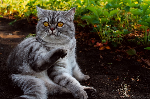 Запор британского кота