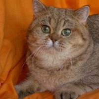 Симптомы блох у кошек.  Как лечить?