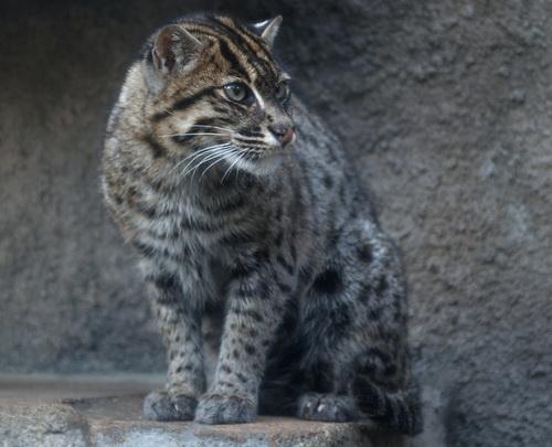 Котов вздорный озорной этот кот
