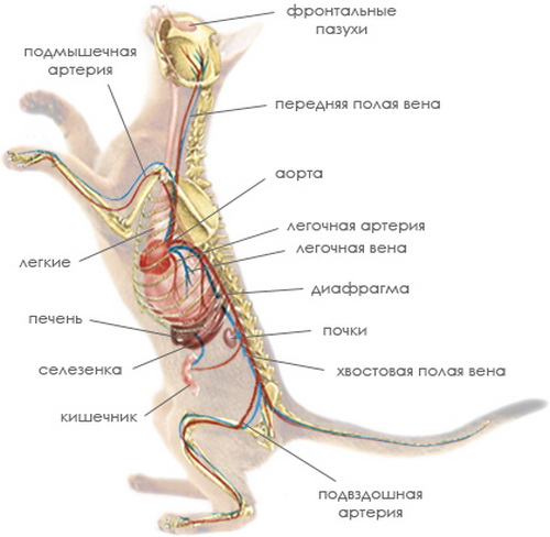 Cat anatomy internal organs