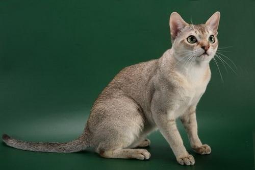 сингапурская кошка фото