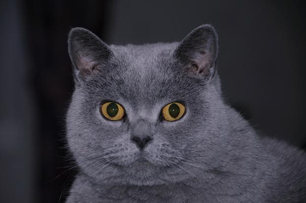 Гадит кот британский