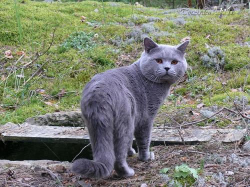 Британские кошки на даче