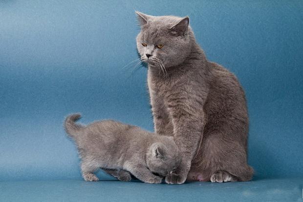 Все о котах и кошках разведение