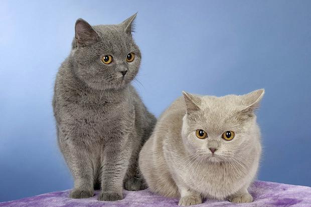 Сексуальная зрелость у кошек