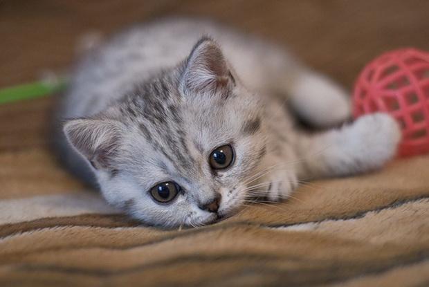 В каком возрасте спаривают котов