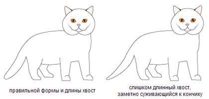 Хвост у британской короткошерстной породы кошек