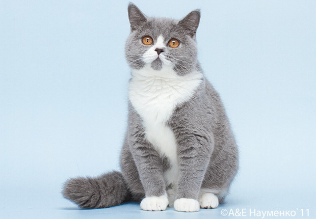 С кем вязать вислоухого кота