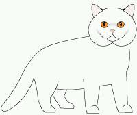 Тело у британской короткошерстной кошки