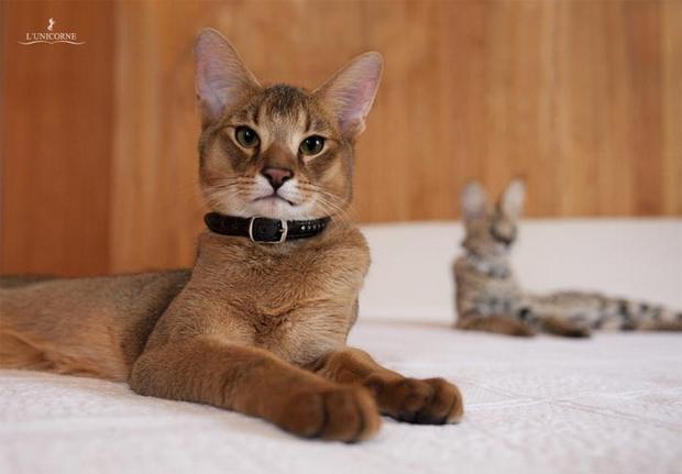 Самая большая порода кошек в мире