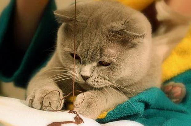 Кот шотландец гадит