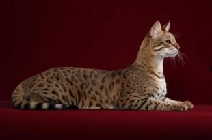 На фото: кошка породы саванна