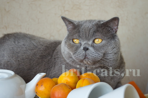 Британский кот аппетит