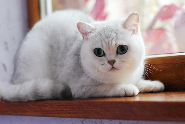 Серебристая шиншилла, серебристая шиншилла кошка 2