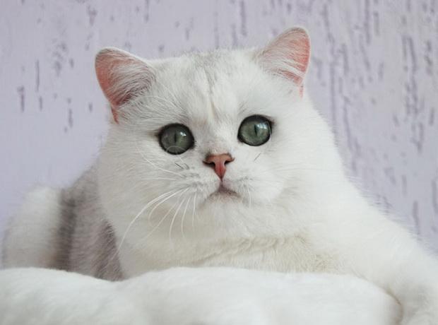 Серебристая шиншилла, серебристая шиншилла кошка 3