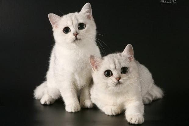 Серебристая шиншилла, серебристая шиншилла кошка фото1