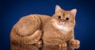 Генетика красного окраса у кошек