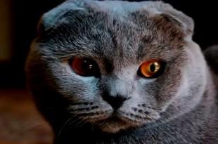 Шотландская вислоухая кошка: характер, повадки, привычки