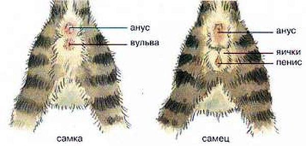 как определить пол котенка фото