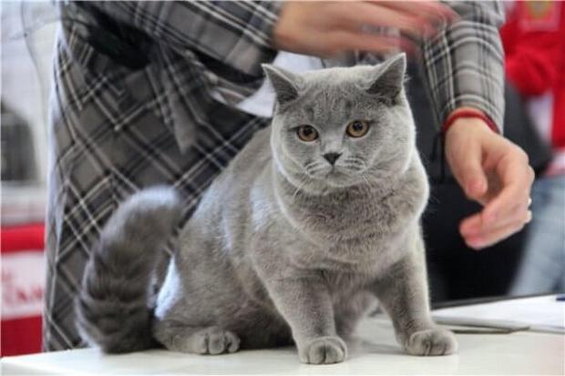 Титулы кошек по системе WCF
